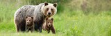 Fototapeta Zwierzęta - Brown bear, ursus arctos, mother with two cubs on green meadow with copy space. Wide panoramic banner of wild mammal with her lovely offsprings. Animal wildlife in summer nature.