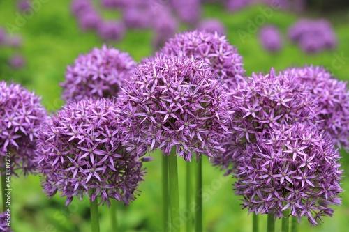 Dicke lila Zierlauchblüten, Gruppe Allium Kugeln