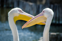 Two Large White Pelicans On Th...