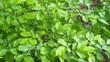 liście grabu