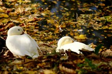 White Ducks Relaxing By Lake During Autumn