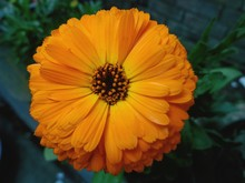 Close-up Of Pot Marigold Blooming On Plant