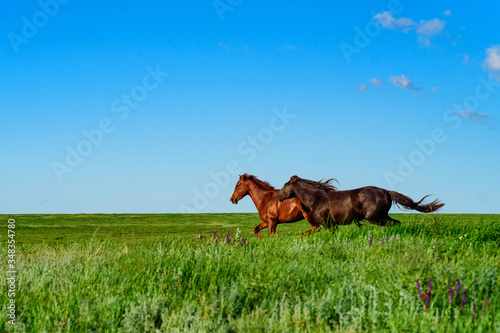 Stampa su Tela Wild horses galloping in the sunlit meadow