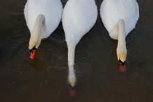 Swans Drink Water, View From A...