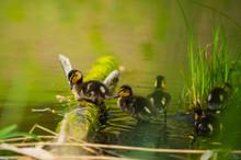 Mallard Duck, Wild Duck Shooting Outdoors