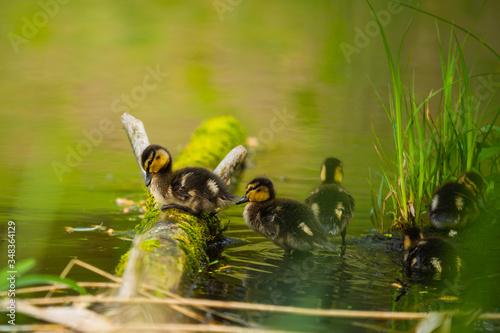 Valokuvatapetti Mallard Duck, wild duck shooting outdoors