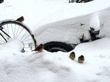 Birds Perching On Snow Covered Car And Bicycle