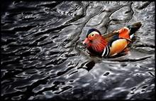 High Angle View Of Mandarin Duck Swimming In Lake