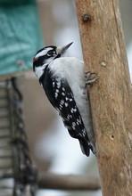 Close-up Of Downy Woodpecker O...