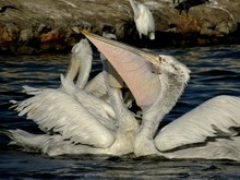 Close-up Of Pelicans Swimming On River