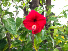 Red Hibiscus Flower On A Green Background, Close Up Hibiscus Red Flower