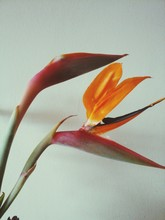 Close-up Of Bird Of Paradise Against Wall