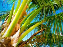 Coconut Palm Tree On Blue Sky
