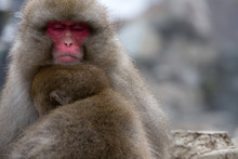 A Snow Monkey And Child (Japan...