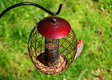 A Red House Finch Eating Seeds...