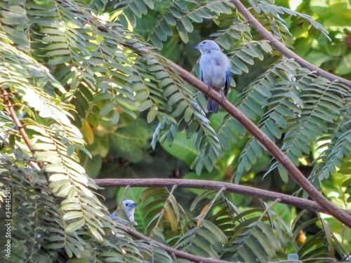 Fotografie, Tablou Bluebirds Perching On Tree