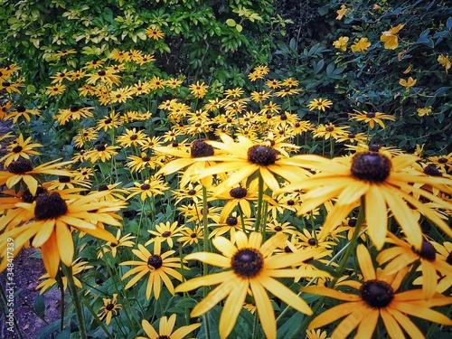 Fotografie, Tablou Black-eyed Susan Blooming On Field