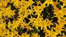 Yellow Lilies In Field