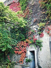 Ivy Covering House During Autumn