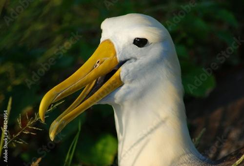 Profile View Of Albatross Slika na platnu