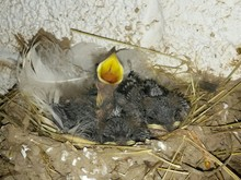 Young Birds In Nest