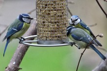 Close-up Of Bluetits Perching On Feeder