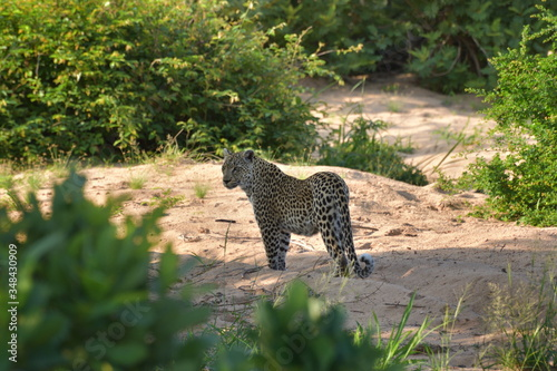 Leopard standing still in a bush Canvas Print