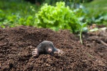 Garden Mole Peeking Out Of  Th...