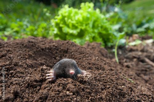 Tela Garden mole peeking out of  the hole in the garden