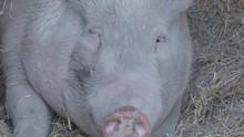 Pig Yawning 4K