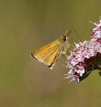 Close-up Of Skipper Butterfly Feeding On Flower Outdoors