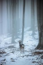 Deer In The Foggy Forest