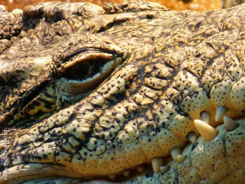 Photo Alligator From Up Close