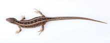 Full Length Brown Sand Lizard ...