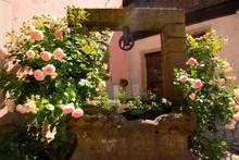 Rosenblüte Im Elsass