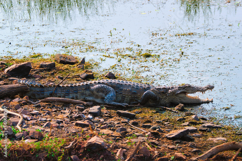 Leinwand Poster Snub Nosed Marsh Crocodile mugger crocodile (Crocodylus palustris) is a crocodilian native to freshwater in India