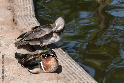 Photo Two male Wood Ducks are standing next to the water