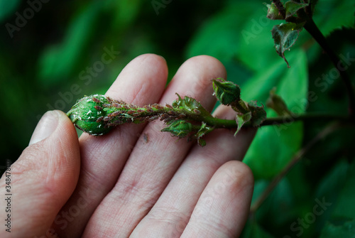 A female gardener examines a plant infected with aphids Canvas Print