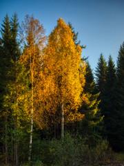 Fototapeta Brzoza yellow birch trees in autumn