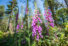 Group Of Purple Foxgloves, Digitalis Purpurea, In A Natural Woodland Setting Looking Upwards. Close Up, Wide Angle.