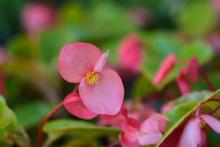 Dragon Wing Pink Begonia