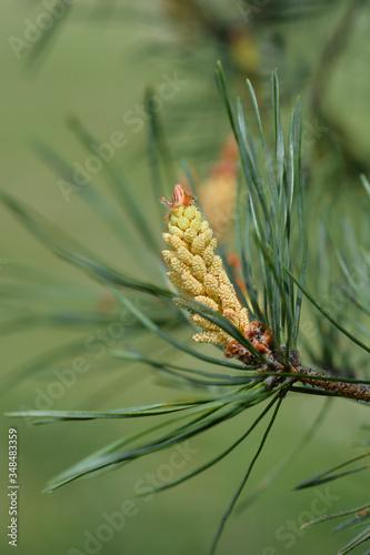 Fototapeta Eastern white pine obraz na płótnie