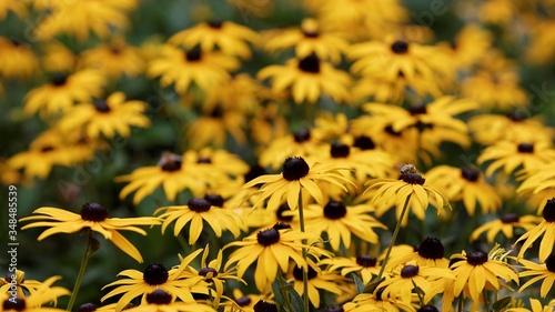 Black-eyed Susan Blooming On Field Fototapet