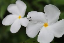 Close-up Of Ants On Frangipani Flowers