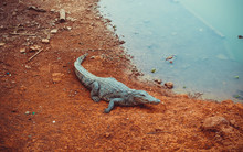 A Crocodile Lies On The Shore Of A Lake In A National Park In Africa