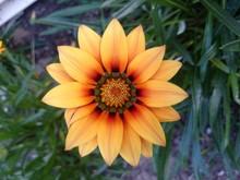 Close-up Of Yellow Gazania Blooming On Field