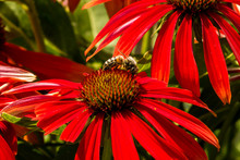 Insect Pollinating On Red Coneflower