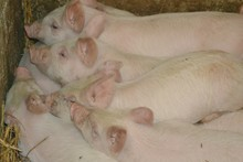 High Angle View Of Pigs Sleeping In Pen