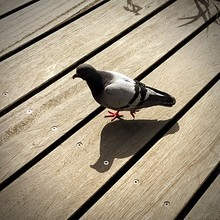 High Angle View Of Pigeon On Pier