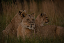 Lion Cub Protected By Mother S...